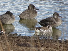 Freckled Ducks and Pink-Eared Duck (RJNumbat) Tags: freckled ducks pinkeared duck