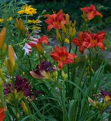 After the rain. (d.cobb56) Tags: garden july newengland flowers blooms lily yellow orange centralmassachusetts nature naturedof