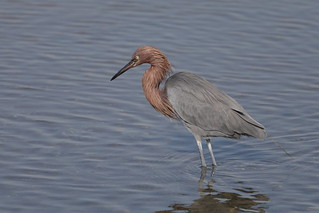 1DX16392 View Large. Reddish Egret. Bolsa Chica, Huntington Beach California