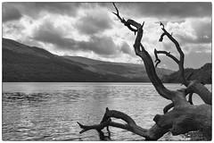 B&W Loch Lomond. (Adrian Walker.) Tags: elements scotland lochlomond tree canon80d koodfilters