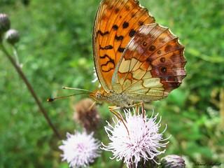 Butterfly 1387