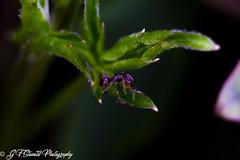 An Ants life! take three (Fakeliquid) Tags: ants green leaf closeup macro