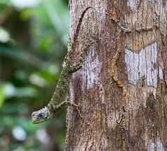 Tree runner... (Glenn van Windt) Tags: plicaplica collaredtreerunner steltloperleguaan reptilia reptile reptiel leguaan closeup nature natuur suriname sigma180mm128apomacrodghsm