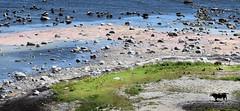 Seals, sheeps, a cow & seabirds in the same frame (A Edvall) Tags: baltic sea östersjön ottenby sverige säl seal ko cow får sheep fågel bird hav himmel fyr lighthouse