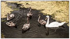 A circle of cygnets (A.I.D.A.N.) Tags: cygnet cygnets swan swans mother canal cotgravecountrypark cotgrave park country circle circles family familygroup bird birds canals water canon canon5dmarkii canon5dmkii canoneos5dmarkii eos 5d mkii markii colour colours photoborder ripple ripples swim swimming paddle paddling wildlife nottingham notts nottinghamshire
