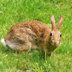 What you lookin' at? Bunny with attitude. (eileansiar) Tags: eileansiar home backyard animal wild rabbit summer lawn leica lens panasonic dmczs19