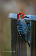 Clinging Woodpecker #2 (tclaud2002) Tags: woodpecker redhead bird wildlife animal nature mothernature outdoors greatoutdoors pineglades naturalarea pinegladesnaturalarea jupiter florida usa