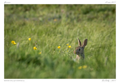 Garenne | Rabbit (BerColly) Tags: france auvergne puydedome animal mamale lapin rabbit pré field green vert bercolly google flickr