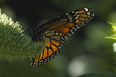 Monarch on Milkweed (brucetopher) Tags: monarch queen layingeggs egglaying egg laying orange delicate strong backlit yellow colorful colors milkweed lifecycle circleoflife life nature 7dwf