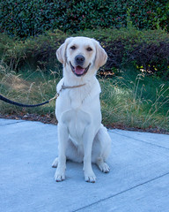 Sinead front (Guide Dogs for the Blind) Tags: breeder brood