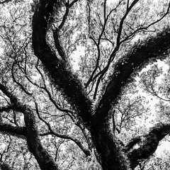 Above South Blvd No. 14 (Mabry Campbell) Tags: 2016 abovesouthblvd april h5d50c harriscounty hasselblad houston northblvd southblvd texas usa unitedstates unitedstatesofamerica westuniversity abstract blackandwhite branches commercialphotography fineart fineartphotography image intimatelandscape landscape liveoak liveoaktrees monochrome nature oaktrees photo photograph photographer photography squarecrop trees up vertical f56 mabrycampbell may 2017 may252017 20170525campbellb0001411 80mm 08sec 100 hc80