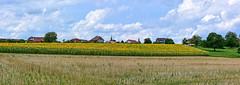 Emergeant des tournesols… Vufflens la Ville (Diegojack) Tags: vufflenslaville vaud suisse paysages campagne village champ tournesols