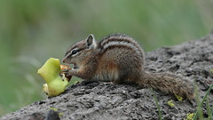 """""""Core! This is nice!"""" (Hammerchewer) Tags: chipmunk animal wildlife outdoor yellowstone"""
