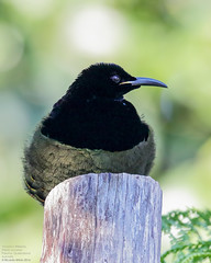 Victoria's Riflebird (Ptiloris victoriae) Paluma, Queensland, Australia 2016 (Ricardo Bitran) Tags: victoria'sriflebird ptilorisvictoriae paluma queensland australia birdsofpaluma birdsofqueensland birdsofaustralia