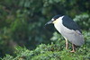Black Crowned Night Heron (Mark Schwall) Tags: nycticoraxnycticorax blackcrownednightheron wildlife markschwallphotographycom manualfocus nikkor600mmf4ais d500 nikon newjersey nj southernnewjersey bird wadingbird rookery heronry