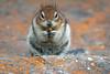 Golden-Mantled Ground Squirrel (HASLETTPHOTO*) Tags: angeline haslett photography 2017angelinehaslett goldenmantledgroundsquirrel squirrel ground mountain forest wildlife wild banffnationalpark alberta banff