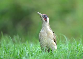 European Green Woodpecker DSC_2529