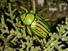 Glorious Jewel Beetle (rstickney37) Tags: arizonabeetles rutelinae chrysina chrysinagloriosa jewelbeetle gloriousjewelbeetle
