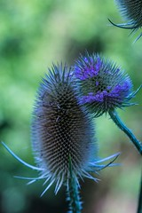 Walking through the woods (zelart) Tags: teasel elements woods thistles purple green zelart kent roughcommon