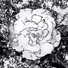 Silver Rose (bethrosengard) Tags: bethrosengard photomanipulation digitallyenhanced photoart digitalmagic digitalart