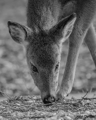 A young buck at O'Bannon Woods State Park (flintframer) Tags: whitetail deer indiana harrison county wildlife animals nature wow dattilo bw black white blackwhite canon ef100400mm t5i rebel