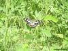 Butterfly (Greencraftingkid) Tags: birding butterflies naturewalk familytime himayatsagar