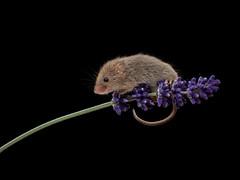 Lavender mouse take 2