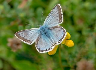 JWL6954  Chalkhill Blue..
