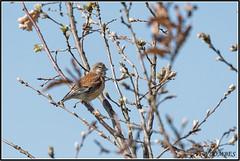 _DSC0067_Linotte mélodieuse (patounet53) Tags: cardueliscannabina commonlinnet fringillidés linottemélodieuse passériformes bird oiseau