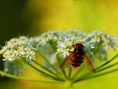 Auf Nahrungssuche (reuas ogni) Tags: insekt insect makro macro olympus zuiko isoz farben colors