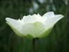 Nelumbo nucifera 'Betsabe' Thailand 007 (Klong15 Waterlily) Tags: betsabelotus thailandlotus lotus thailotus nelumbonucifera nelumbo nelumbobetsabe