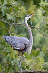 Great Blue Heron (zeroskilz) Tags: bird nature animal heron wildlife outdoors wild environment great blue indiana mike timmons