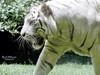 White Tiger (Pandymonium) Tags: tiger whitetiger blackandwhite animal animals zoo zooanimals bali travel travelphotography travelphotos animallover animalplanet