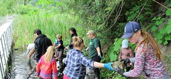 Volunteers clear a previous treatment site (BC Wildlife Federation's WEP) Tags: outreach public yellowflagiris bcwf education wep wetlandseducationprogram invasive species control research wetland bcwildlifefederation cheamlake cheam rosedale chilliwack
