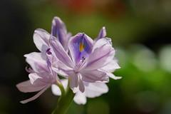 布袋葵/Eichhornia crassipes