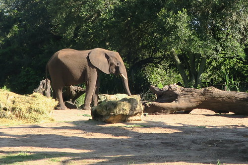 Disney World: Animal Kingdom - Kilimanjaro Safaris - Elephant