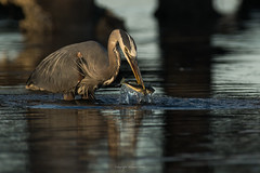 A Successful Stab (westcoastcaptures) Tags: greatblueheron esquimaltlagoon sonya99ii minoltaaf400f45hsg minoltaapoii14xteleconverter handheld victoriabc fish snack fishcatch fishing water ocean lagoon staghornsculpin