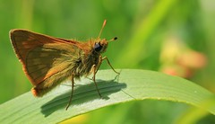 Large Skipper - Daneway WT reserve Gloucs 270616(6) (ailognom2005) Tags: danewaywtreserve naturereserves wildlifereserves wildlifetrust gloucestershire largeskipper butterflies butterfliesmothsandcaterpillars insects britishwildlife britishinsects macro