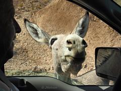 Wild Ass Ways (VenturaMermaid) Tags: ass burro donkey jackass wild wildlife window openwindow mirror roadside backroad canon photo dslr animal mammal daylight shadow light arizona parker desert