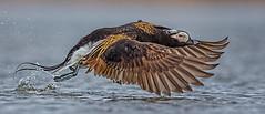 Long-tailed Duck-5597 (Eric Gofreed) Tags: alaska barrow