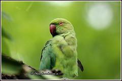7023 - parakeet (chandrasekaran a 40 lakhs views Thanks to all) Tags: parakeet birds nature india chennai canoneos760d tamronsp150600mmg2