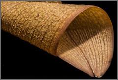 Orchid-Leaf-Texture (Marco Di Ferrante) Tags: macromondays texture leaf orchid macro olympusom3570 3570f4nikonmacroadaptercome olympus manualfocus orchidea foglia details dettagli memberschoicetexture