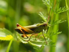 Grashüpfer (michaelmueller410) Tags: insekt gras grass green insect makro macro closeup herb grün grashüpfer heuschrecke fühler