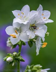 Polemonium caeruleum (Timo Halonen) Tags: polemonium caeruleum lehtosinilatva jacobsladder kukka flower white nikon dx d5200 tokina 100mm macro tokina100mmf28atxpro11macro