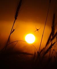 summer (Vladi_L) Tags: nature nx300 nx samsung summer spider sunset sun hot
