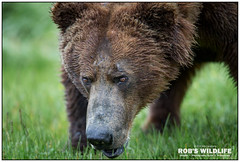 Alaska Brown Bear 070317-5066-W.jpg (RobsWildlife.com © TheVestGuy.com) Tags: grizzly robswildlifecom 070317 robswildlife alaskastatetourism alaskabear grizzlybear wildlife nature naturelovers bear brownbear robdaugherty animals animal naturephotography alaskaadventure alaskawild