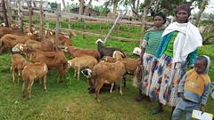 Ethiopia (ICARDA-Science for Better Livelihoods in Dry Areas) Tags: ethiopia africa smallholder livelihoods icarda goats sheeps