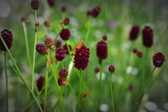Großer Wiesenknopf (Sanguisorba officinalis) (Wolfgang's digital photography) Tags: pflanze groserwiesenknopf natur blütenpfanze rosengewächs nikond5300