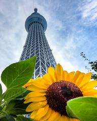 2017 Tokyo summer (shinichiro*@OSAKA) Tags: 墨田区 東京都 日本 jp 20170717img8185 8img8097 2017 crazyshin appleiphone7plus iphone july summer tokyo japan tokyoskytree sunflower flower macro 35172339333 candidate