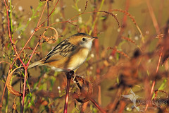 Golden-headed Cisticola (Vas Smilevski) Tags: goldenheadedcisticola cisticolaexilis cisticolidae cisticola birds bird birding feathers wildlife wildlifephotography animals avian australianbirds australia nsw nature ngc naturephotography getolympus m43 vsimages vassmilevski olympusomdem1mkii mzuiko300mmf4pro omd em1mkii 300mm olympus olympusau goldenlight light goldenhour